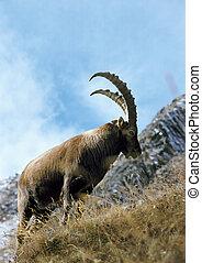 ibex, ligado, lado montanha