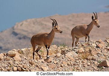 Ibex Mountain goats