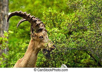 ibex on a background of green forest in the mountains