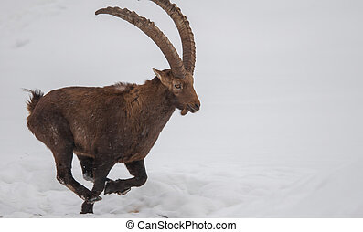 Ibex running in the snow.