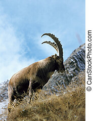 ibex, su, versante