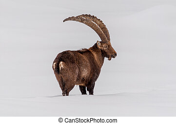 Ibex walking in the snow.
