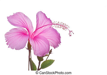 ibišek, květ