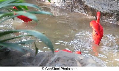 ibis, écarlate, baigner, combat