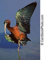 ibis, グロッシー