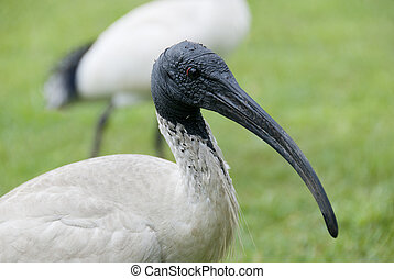 Ibis bird on green meadow in Sydney - Portrait of white...