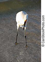 ibis branco, com, peixe, em, bico, sanibel, flórida