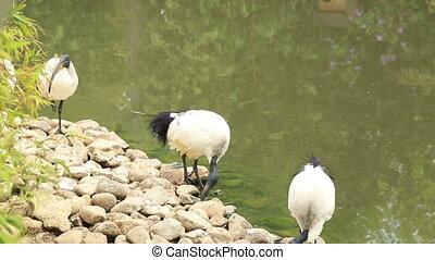 ibis, sacré, africaine