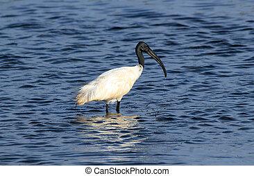 ibis, zwarte-aangevoerde