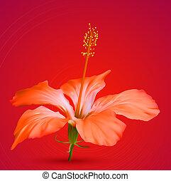 ibisco, tropicale, vettore, fiore