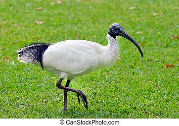 ibisz, -, madarak, ausztrál, fehér