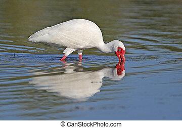 ibisz, sekély, takarmányozás, fehér, tavacska