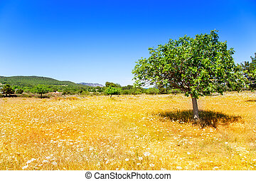 Ibiza agriculture with fig tree and wheat