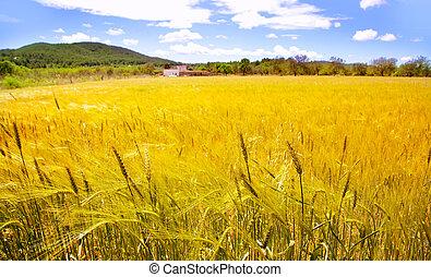 Ibiza island golden wheat fields of mediterranean