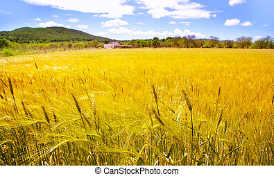 Ibiza island golden wheat fields of mediterranean
