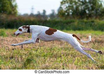 Ibizan Hound dog coursing run in field