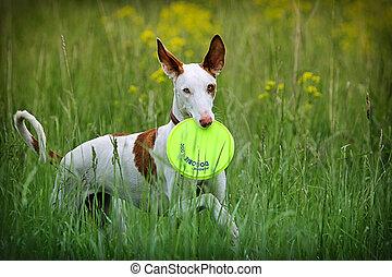Ibizan Hound dog play with frisbie in field