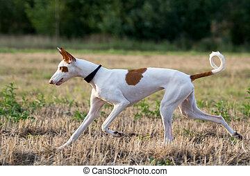 Ibizan Hound dog run in field