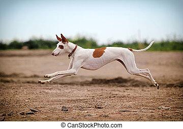 Ibizan Hound dog run on a road in field