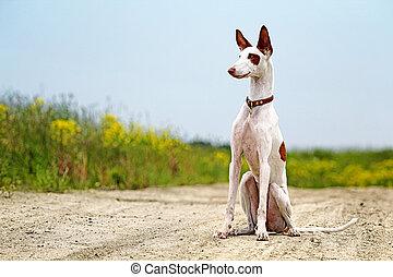 Ibizan Hound dog sit on a road in field