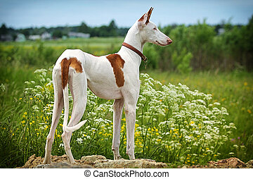 Ibizan Hound dog stand on a road in field