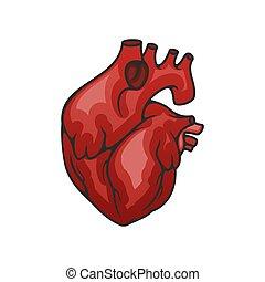icône, coeur, isolé, orgue, vecteur