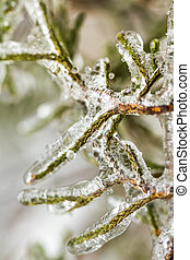 Winter rain freezes on branches of cypress evergreen. Close up abstract.