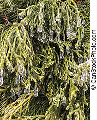 ice on branches of a pine tree as a background