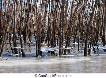 Ice shelves on trees in flooded and frozen wetland.