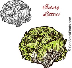 Iceberg lettuce vector sketch vegetable - Green iceberg...