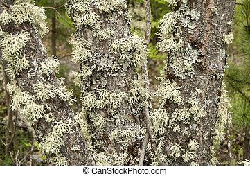 Iceland moss closeup