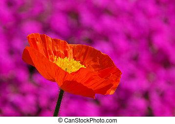 iceland poppy 05