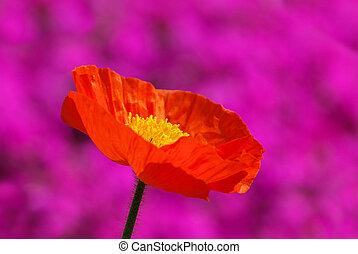 iceland poppy 06