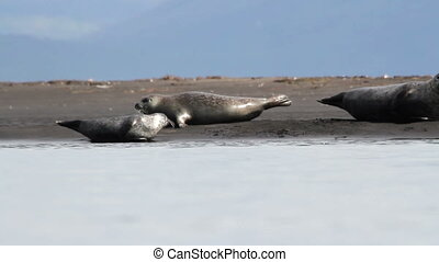 Iceland Seals on the shore