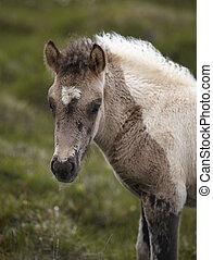 Icelandic colt grazing on the ground at Vatnsnes Peninsula...
