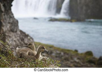 Icelandic eider ducklings and Godafoss waterfall.