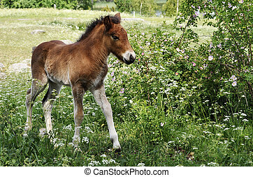 Icelandic foal surrounded by flowers in spring