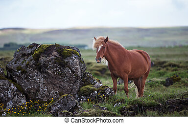 Icelandic Horse - Beautiful Icelandic horse standing in a ...