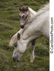 Icelandic horse grazing and colt at Vatnsnes Peninsula...