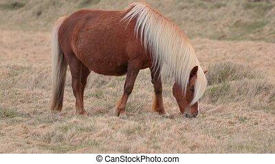 Icelandic horse grazing - Icelandic horsegrazin on a meadow
