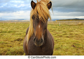 Icelandic horse grazing in the field