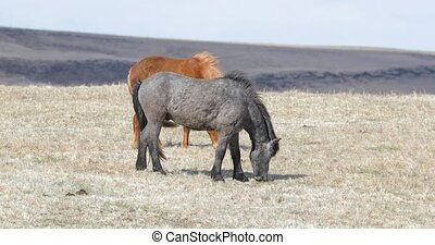 Icelandic horse grazing on a meadow, strong wind