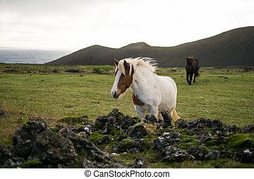 Icelandic horse in the pasture