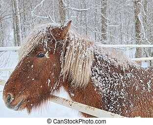 Icelandic Horse in winter