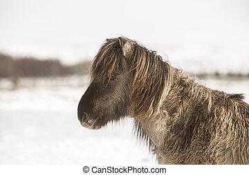 Icelandic horse in wintertime