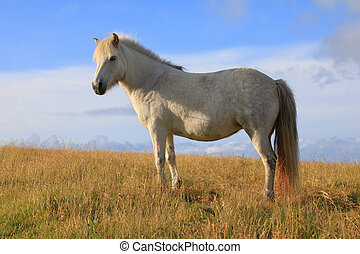 Icelandic horse on the background of blue sky