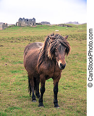 Icelandic horse on the meadow