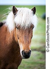 horse - Icelandic horse portrait close up
