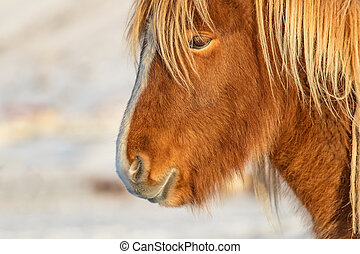 Icelandic horse portrait in winter landscape