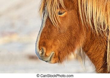 Icelandic horse portrait in winter landscape